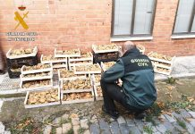 Denunciados por recolectar setas furtivamente en Palencia